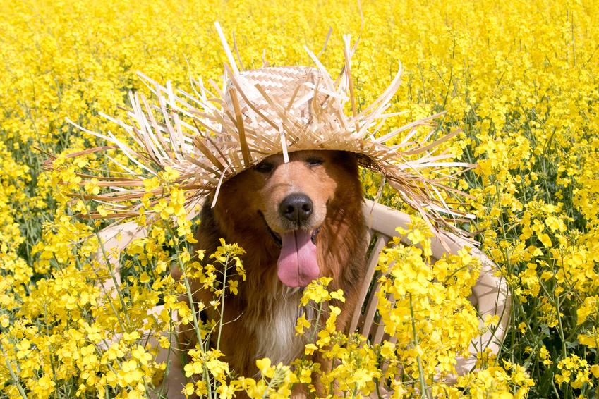 Hund mit Strohhut sitzt auf einer Bank im Rapsfeld im Frhling
